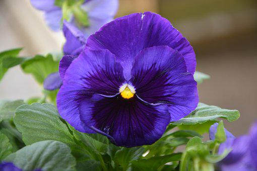 Flower Thought, Color Blue, Garden, Massif, Nature