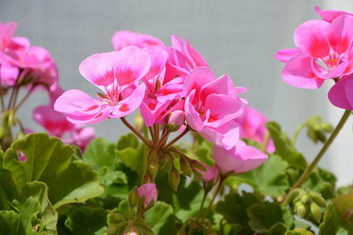 Pink Flowers, Balcony, Decoration, Flowered, Flowers