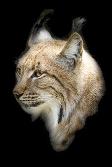Bobcat, Cat, Wildlife, Carnivore, Animal, Mammal, Lynx