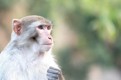 Monkey, Wildlife, Animal, Wild, Nature, Ape, Asia