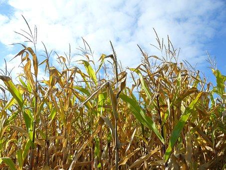 Cornfield, Corn, Autumn, Sky, Agriculture, Blue, Summer