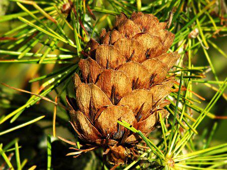 Tree, Coniferous, Pine Cone, Nature, Plants, Sprig