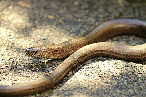 Slow Worm, Lizard, Reptile, Nature, Crawl, Animal