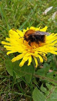 Bee, Dandelion, Flower