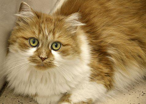 Cat, Long Haired, Domestic Cat, Mieze, Adidas