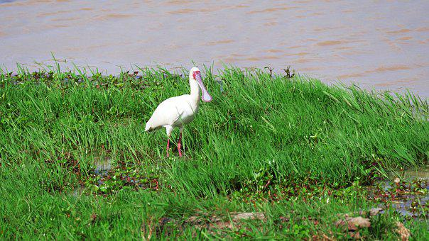 African Spoonbill, Eastern, Shallow, Waters, Water