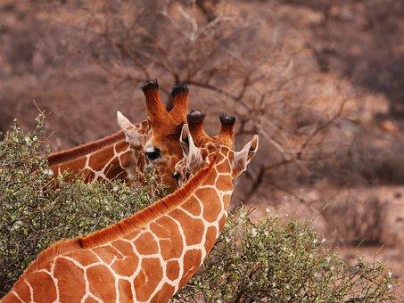 Giraffes, Pair, Together, Eat, Friends, Wild Animal