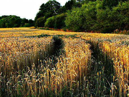Field, Corn, The Sun, The Cultivation Of, Nature
