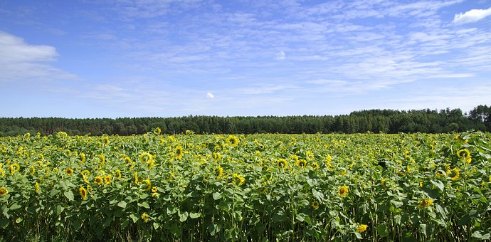 Sunflowers, Field, Landscape, Forest, Clouds, Flower