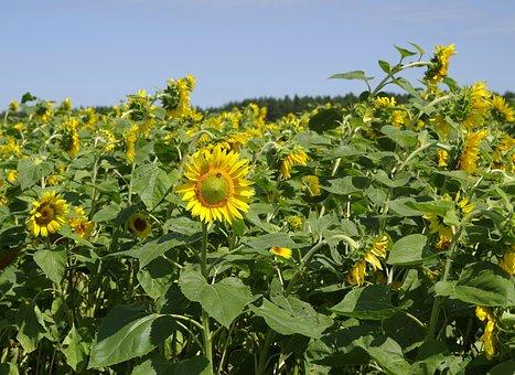 Sunflowers, Field, Landscape, Forest, Clouds, Flower
