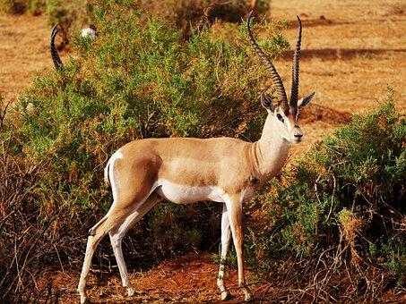 Impala, Bite, Wound, Survived, Antelope, Wild Animal