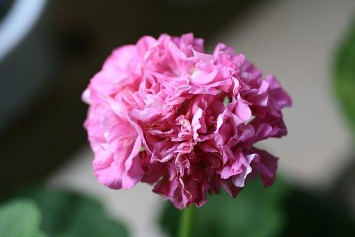 Geranium, Flowers