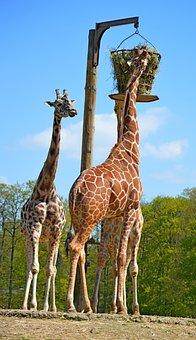 Giraffe, Nature, Zoo