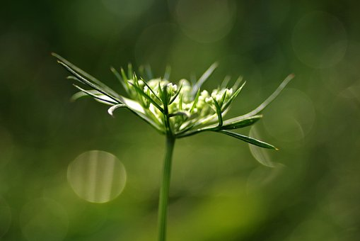 Wild Carrot, Flower, The Delicacy, Artistic, Green