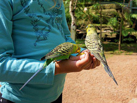 Budgie, Food, Feeding, Hand, Child, Bird, Animal, Bill