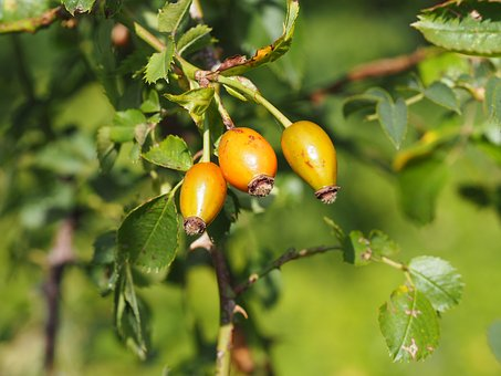 Rose Hip, Tee, Bless You, Healthy, Vitamin C, Nature