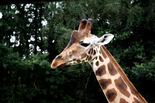 Giraffe, Wild Animal, Large, Africa, Mammal, Neck