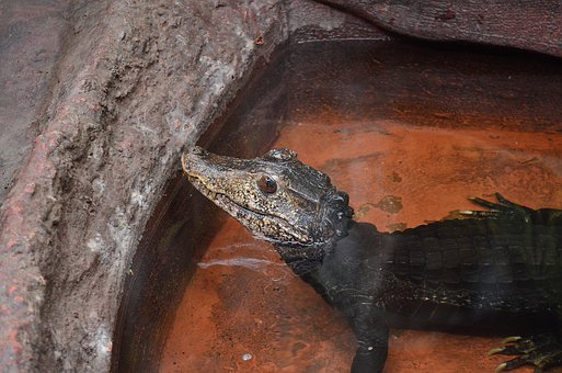 Reptile, Amphibians, Animal, Crocodile, Nature