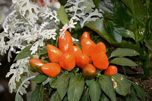 Plant, Chili Pepper, Decoration, Offer, Nature