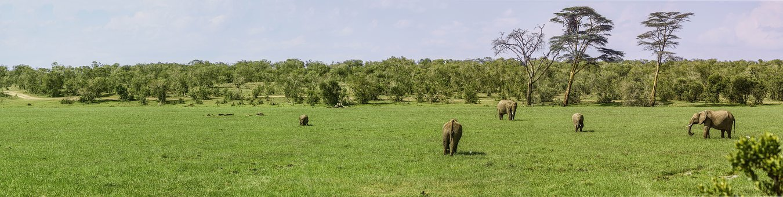Panorama, Elephant, Buffalo, Swamp, Swamp Grass, Eat
