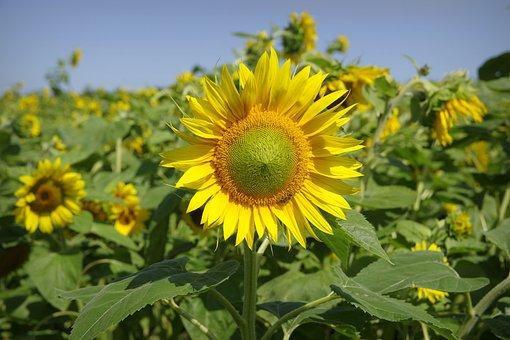 Sunflowers, Field, Flower, Yellow, Bees, Golden, Plant