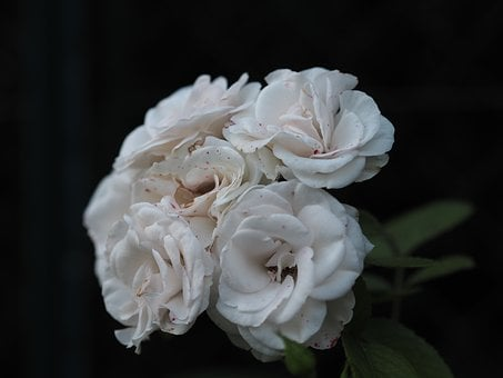 Rose, Flower, White, Love, Blossom, Bloom, Plant