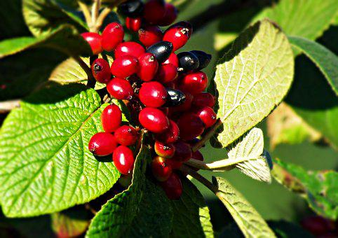 Berries, Red, Black, Foliage, Summer, Dark, Plant