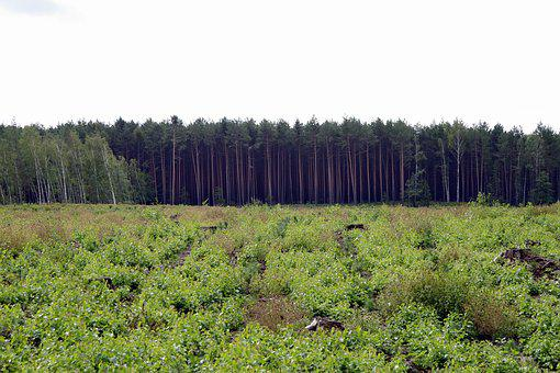 Forest, Tall, Polyana, Spruce, Tree, Pine, Europe