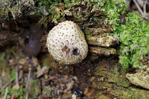 Fuzz-ball, Mushroom, Trunk, Rotten, Tree, Old, Mold