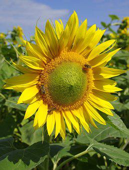 Sunflowers, Field, Flower, Yellow, Bees, Golden, Plant