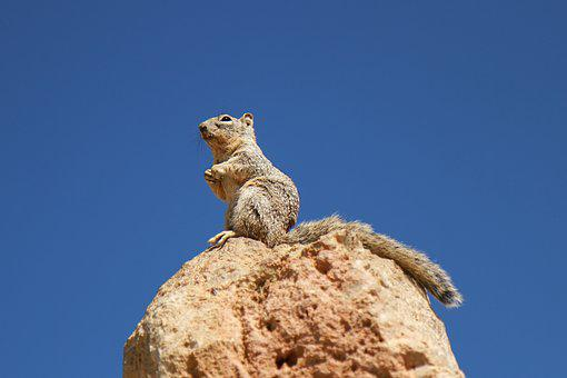 Grand Canyon, Squirrel, Animal, Nature, Nager, Rodent