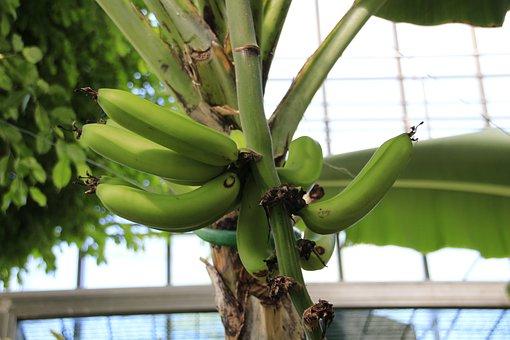 Banana Shrub, Bananas, Banana Plant, Fruits, Green