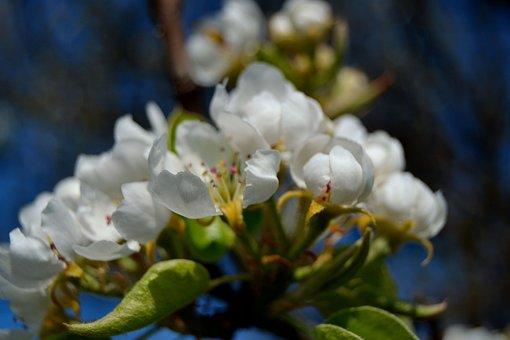 Blossom, Cherry, Blossom Cherry, Tree Blossoms
