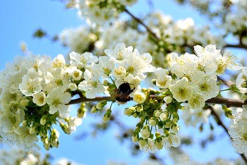 Cherry Tree, Cherry Blossom, Blossoms, White