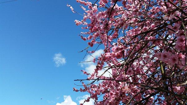 Spring, Blossom, Cherry, Plum, Pink, Tree, Bloom