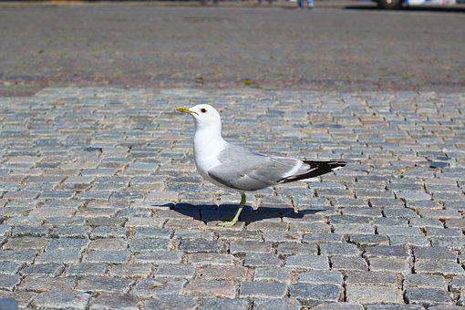 Gull, Bird, Animal, Sneak, Wildlife Photography, Close