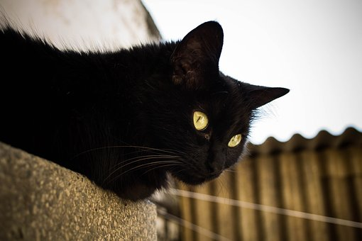 Black Cat, Gato, Gato Preto, Pet, Animal, Cute, Kitty