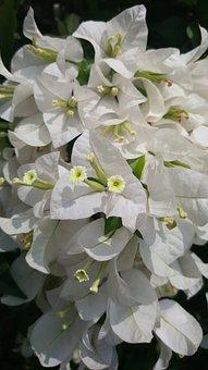 White, Flower, Nature, Floral, Spring, Plant, Blossom