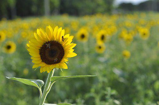 Sunflower, Field, Nature, Flower, Plantation, Bloom
