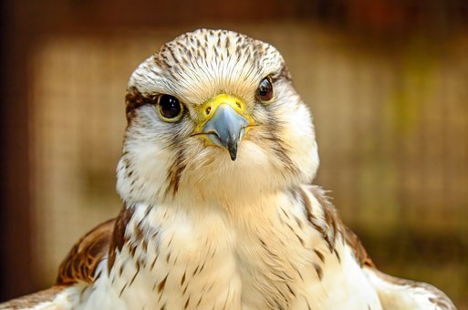 Gyrfalcon, Falcon, Bird, Raptor, Bird Of Prey, Plumage