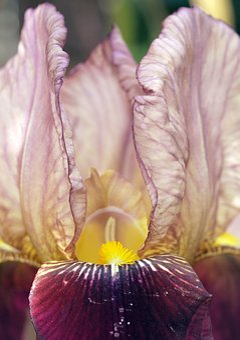 Flower, Iris, Plant, Flora