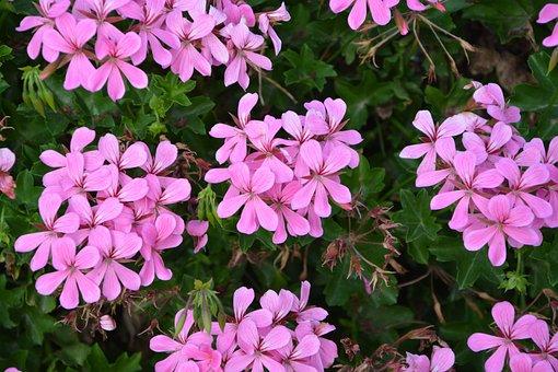 Flower, Geranium Single Rose, Plant, Jardiniere, Pot