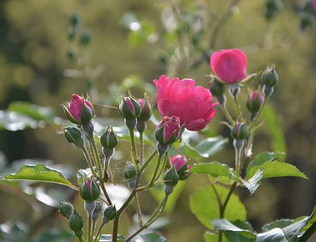 Rosebuds, Rosebush, Nature, Gift, Offer, Climbing Rose