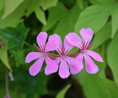 Pink Flowers, Geranium Simple, Green Foliage