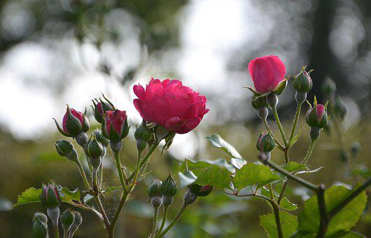 Flower, Roses, Rose Bud, Color Pink, Plant