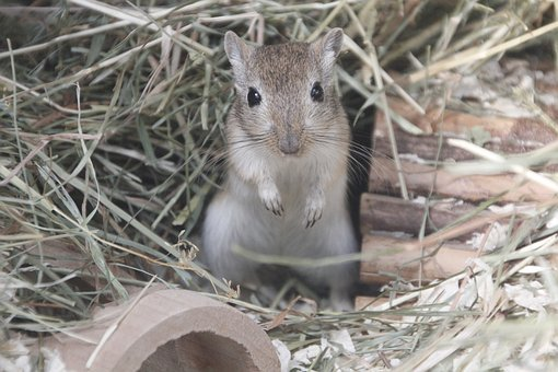 Racing Mouse, Mouse, Grey, Straw