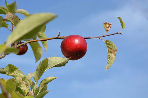 Red Apple, Orchard, Fruit, Food, Culinary, Love Apples