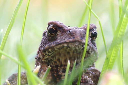 A Toad, The Frog, Young, Green, Grass, Sand, Eyes