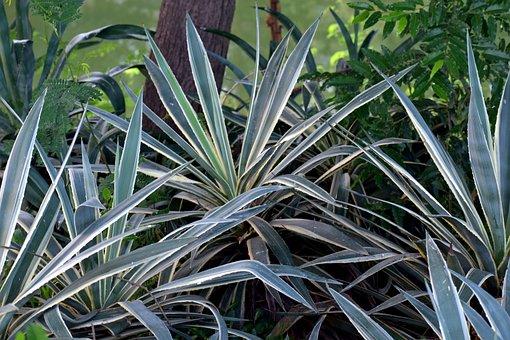 Yucca Plant, Shrubs, Thorny Leaf