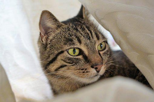 Cat, Curtain, Tiger, Domestic Cat, Animal, Pet